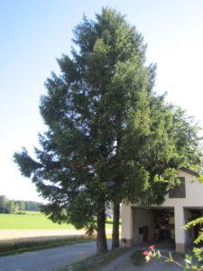 Kieferngewächs, Weichholz